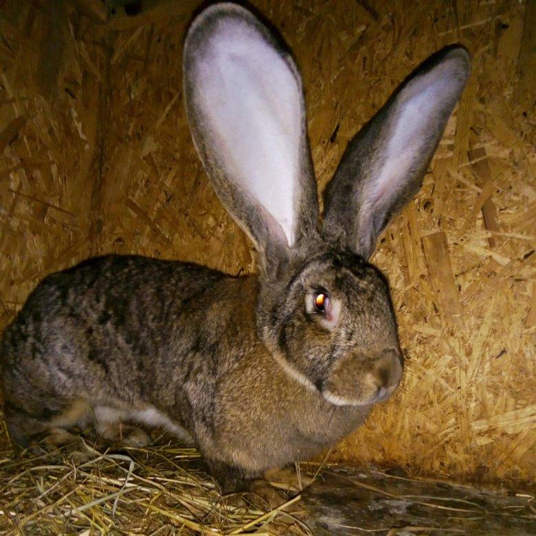 кролик ризен картинки сохранить