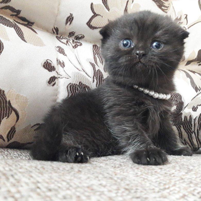 Котята шотландские черный дым фото характеристики