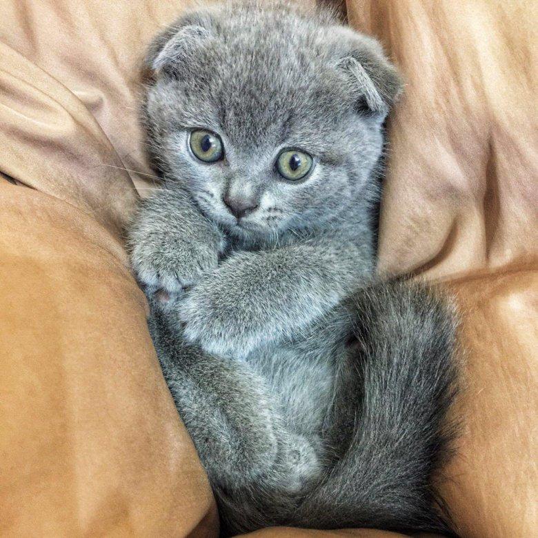 картинка британца вислоухого котенка согласования всех документов