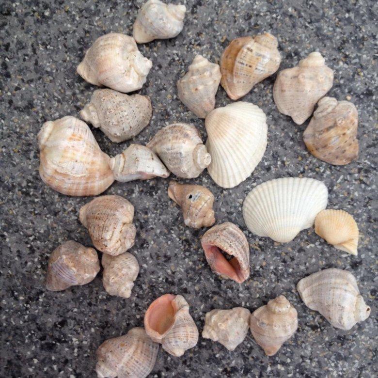 Ракушки черного моря фото и названия