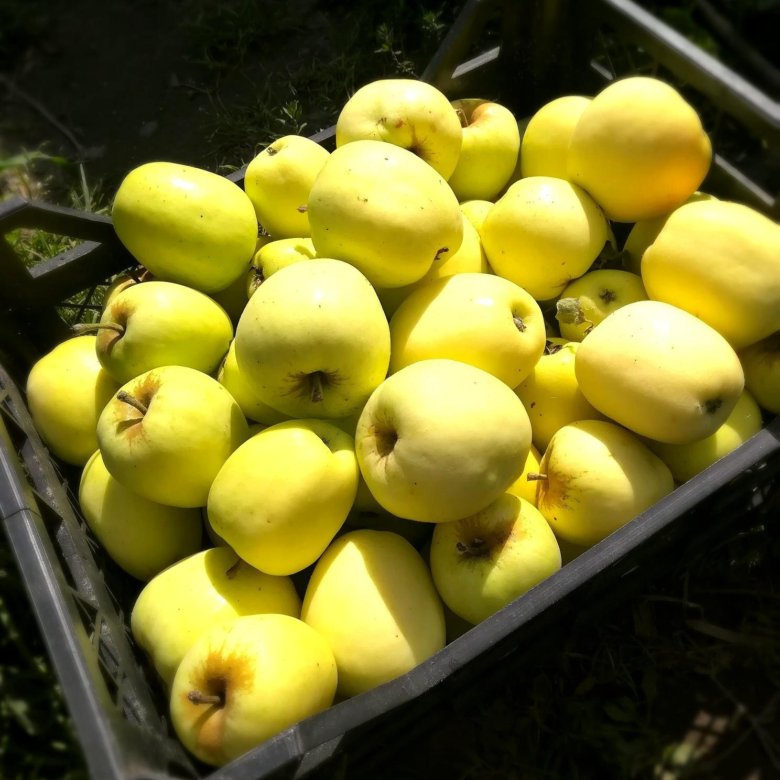 Яблоня рижский голубок фото описание