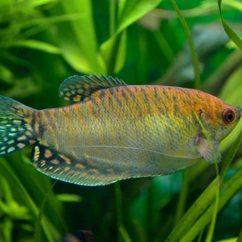 Аквариумные рыбки мирные картинки название описание, елочку