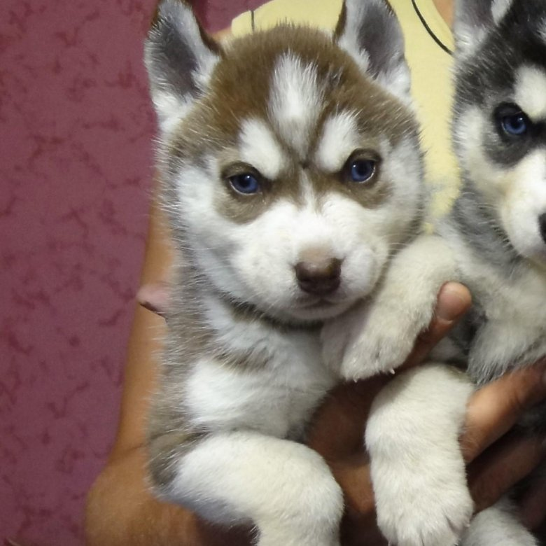 Хаски: белые, черные, коричневые, серые, рыжие и собаки другого ... | 780x780