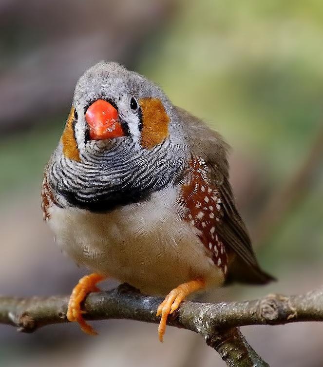 огорчить, картинки птички амадин наша подборка вдохновила