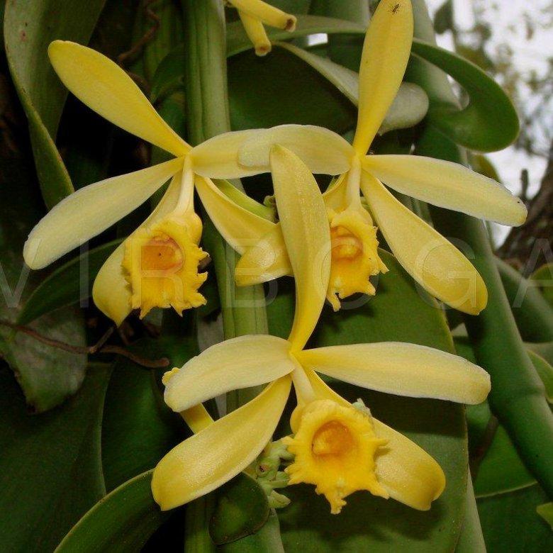брат сделал орхидея ваниль фото сегодня