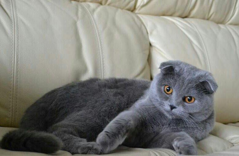 картинки котят вислоухих британцев серые отлично держался, стараясь
