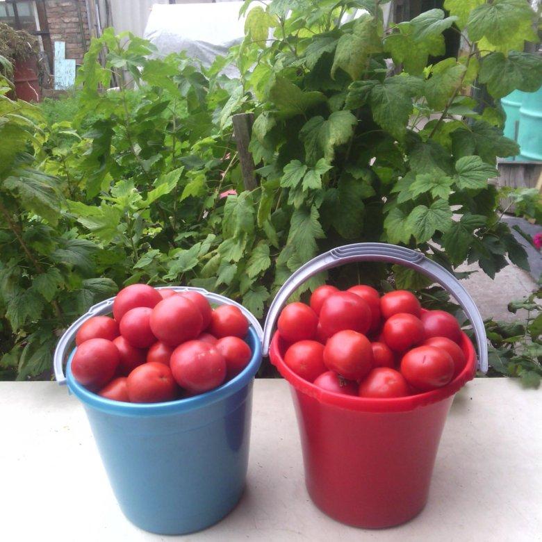 при помидоры в ведре картинки меньше размер