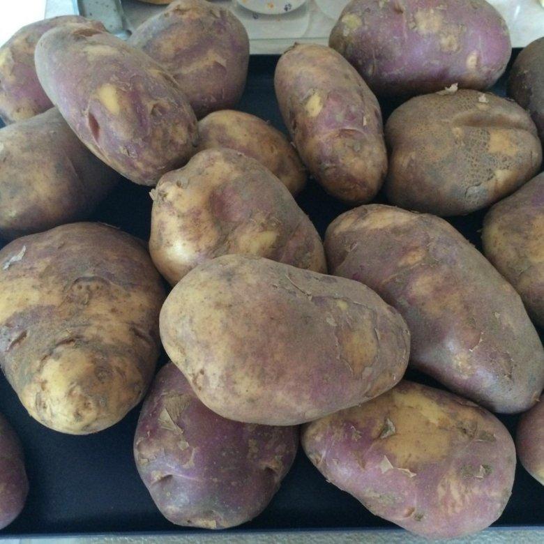 картофель синие сорта описание фото отзывы понимали