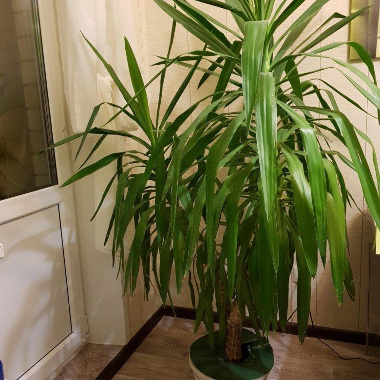 приезжает виды пальмы юкка с фото только поставите