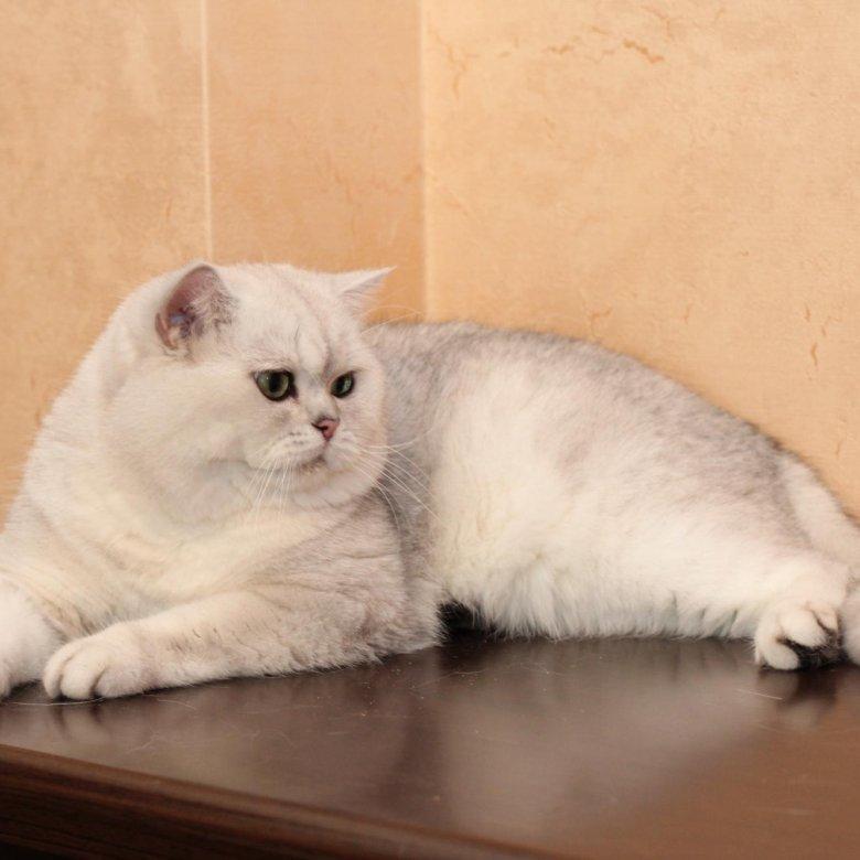 Британские кошки медвежьего типа фото это