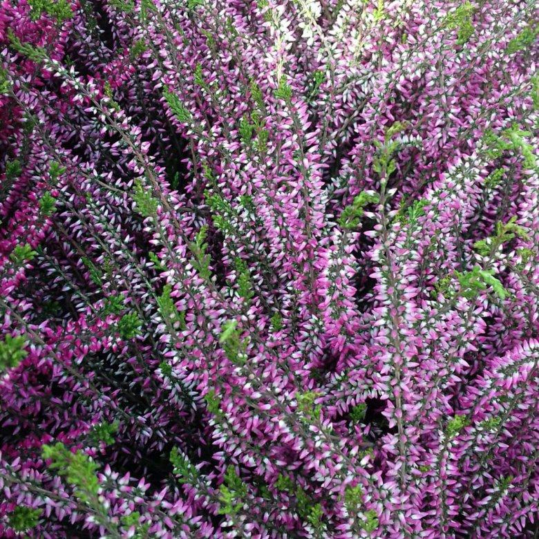 Растение вереск купить в уфе, цветы оптом