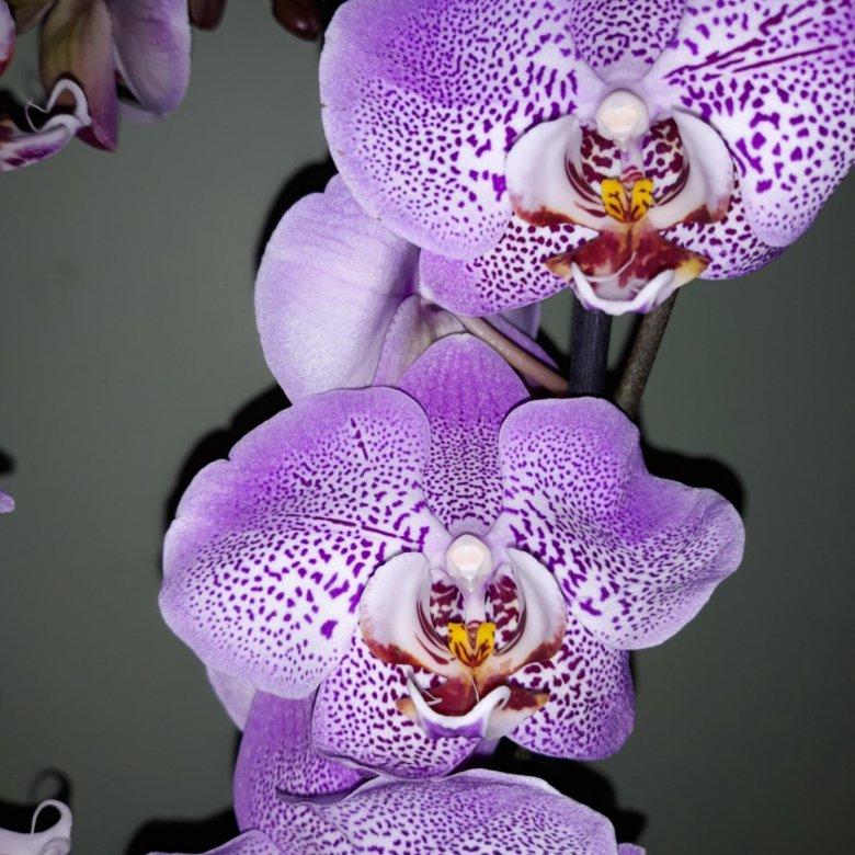 Букет, купить цветы орхидею в красноярске