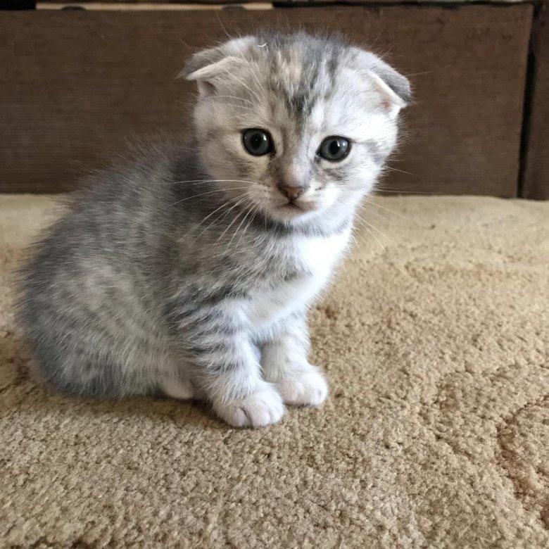 прекрасный картинка британца вислоухого котенка вкусы всех разные