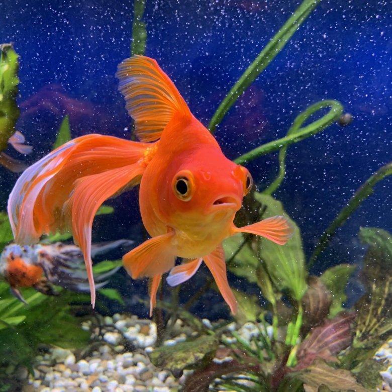 красивые картинки с рыбками золотыми рыбками собраны классические