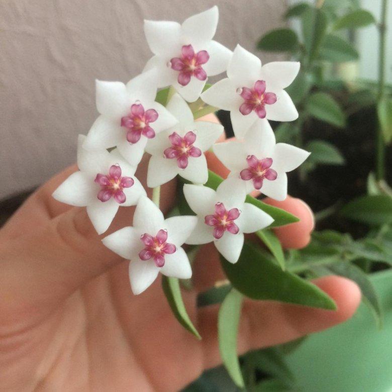 Купить цветы хойи в москве, букет цветов