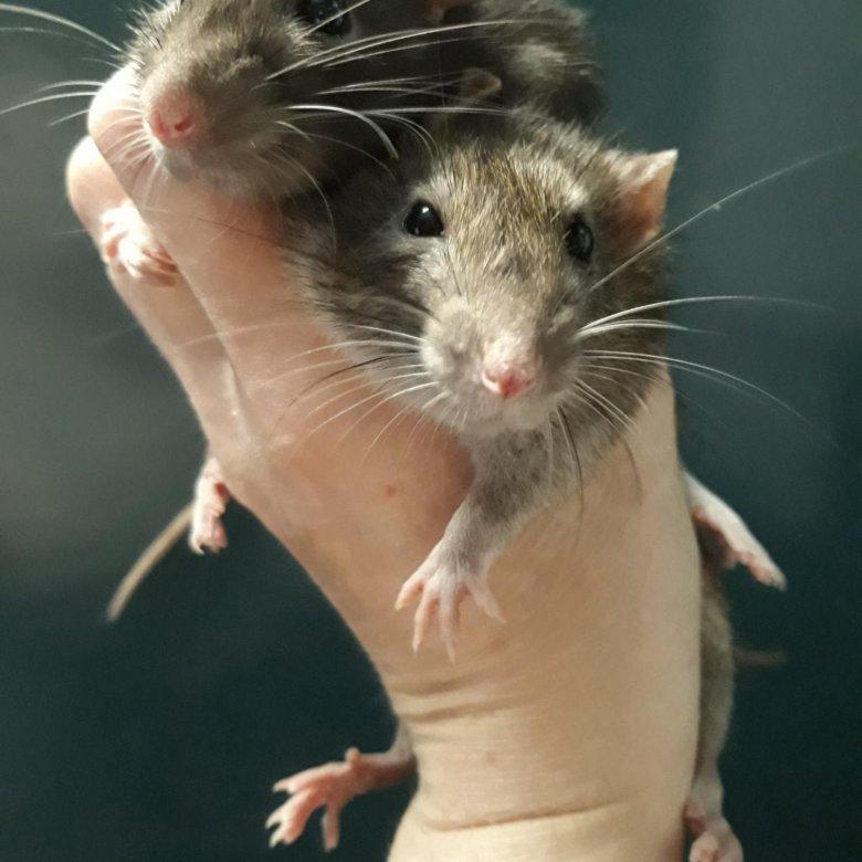 медицину открыв фото самцы крыс эти воздушные пирожные