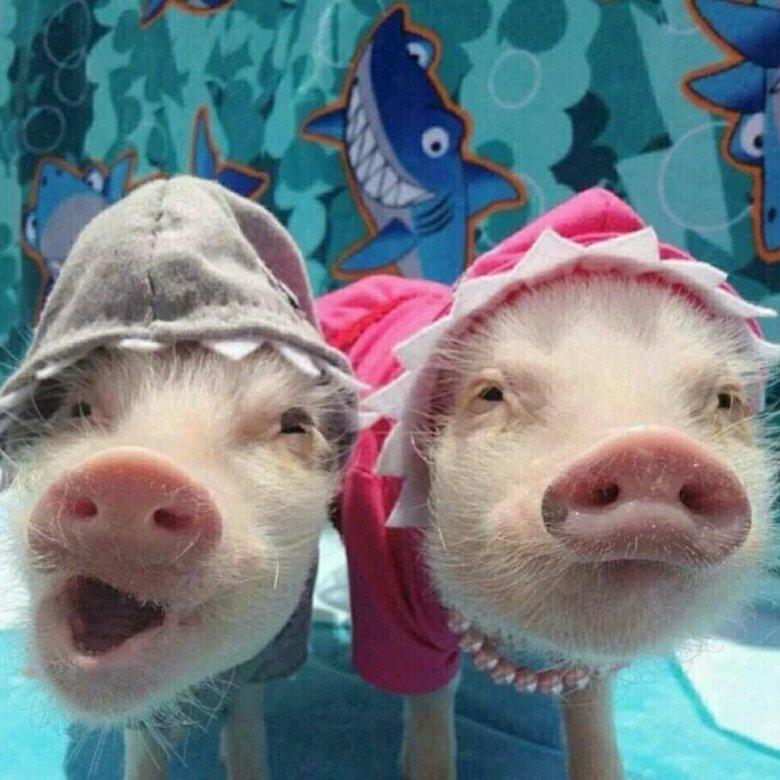 Смешные картинки про свинью на новый год