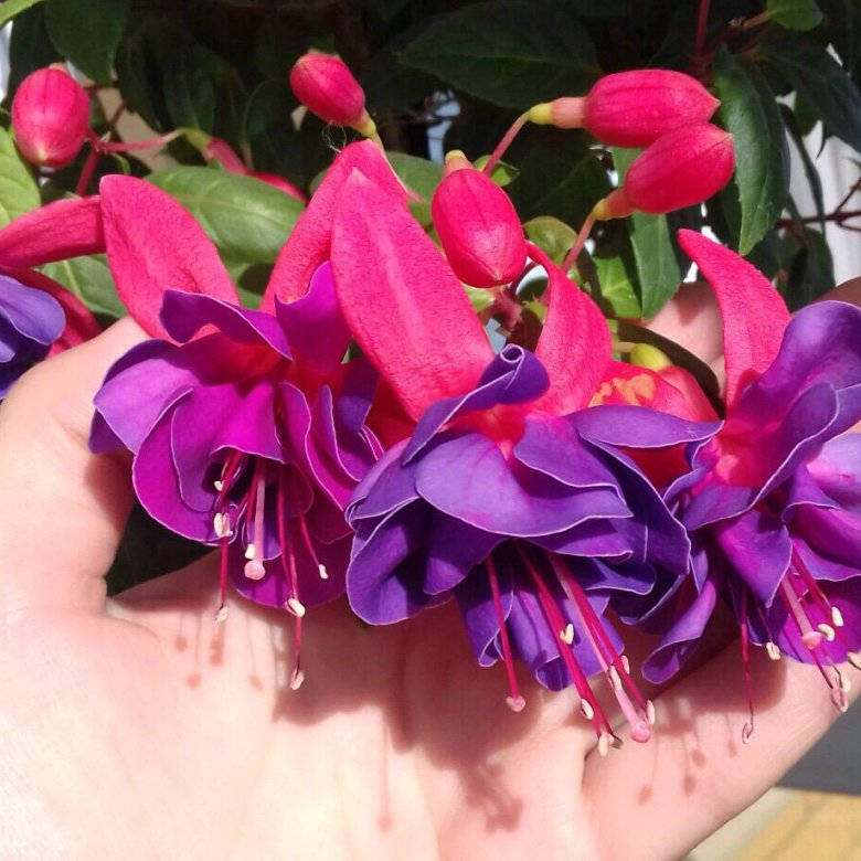 Купить цветы фуксию во владимире