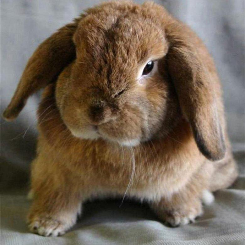 Кролик баранчик фото ограниченными