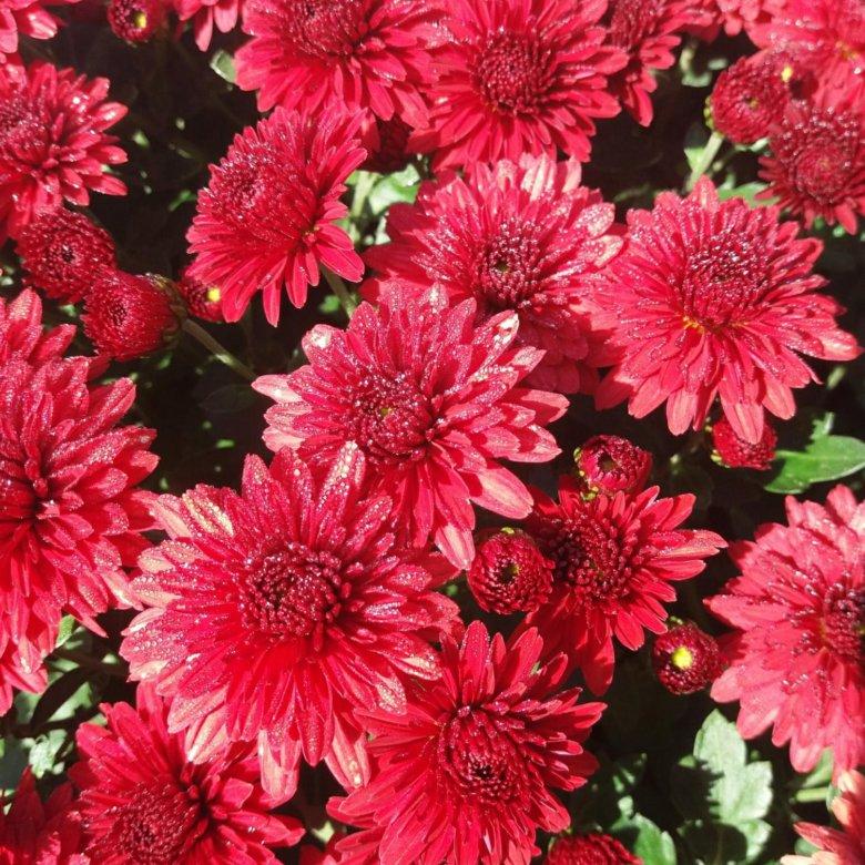 находится хризантема низкорослая сорта фото отзывы растения