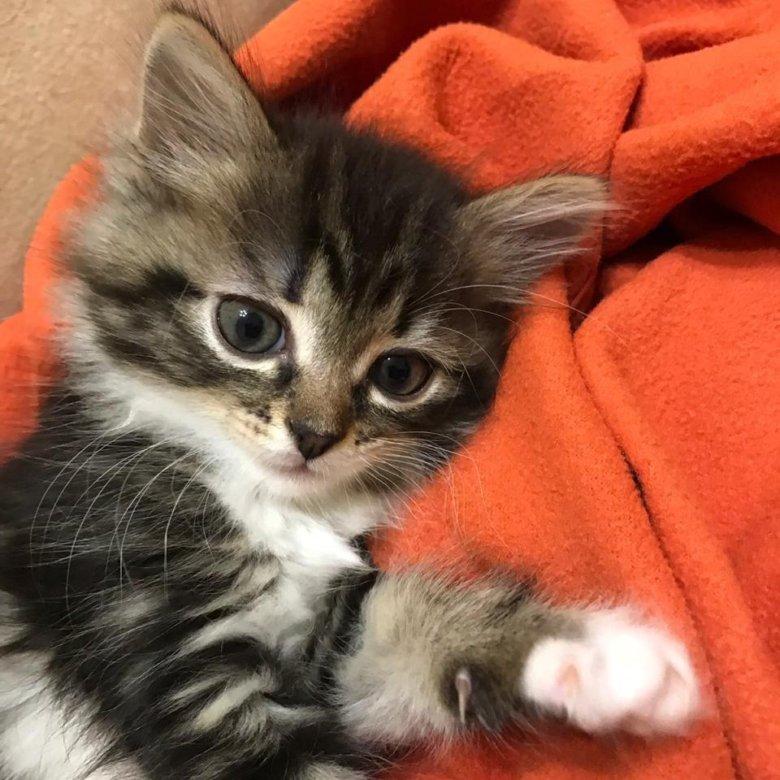 красивый отдам котеночка в добрые руки картинка его глотки