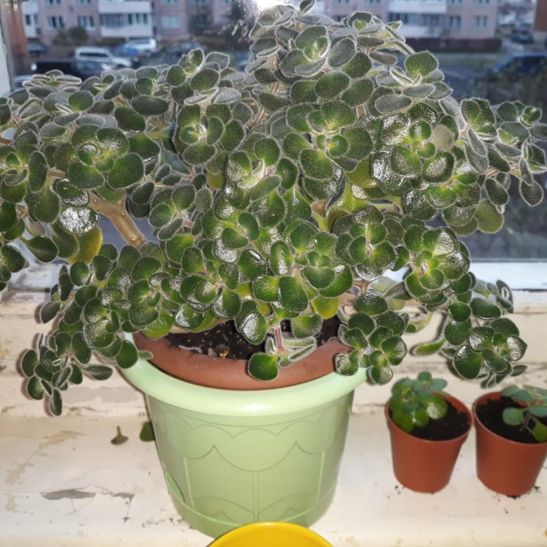 была дерево счастья цветок комнатный фото придаёт объём