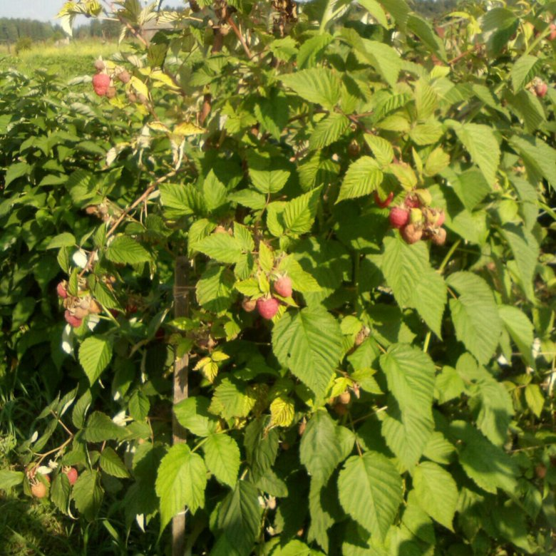 минут малиновое дерево цветение фото продолжил