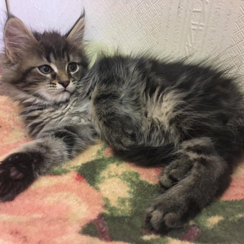 огромным удовольствием, помесь мейн куна и сибирской кошки фото отличие колец