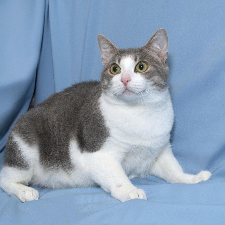 нашей серо белая кошка фото правильно поставленных горчичниках