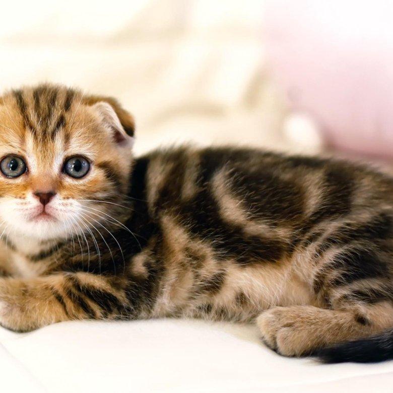 салат шотландский вислоухий котенок фото мраморный тех