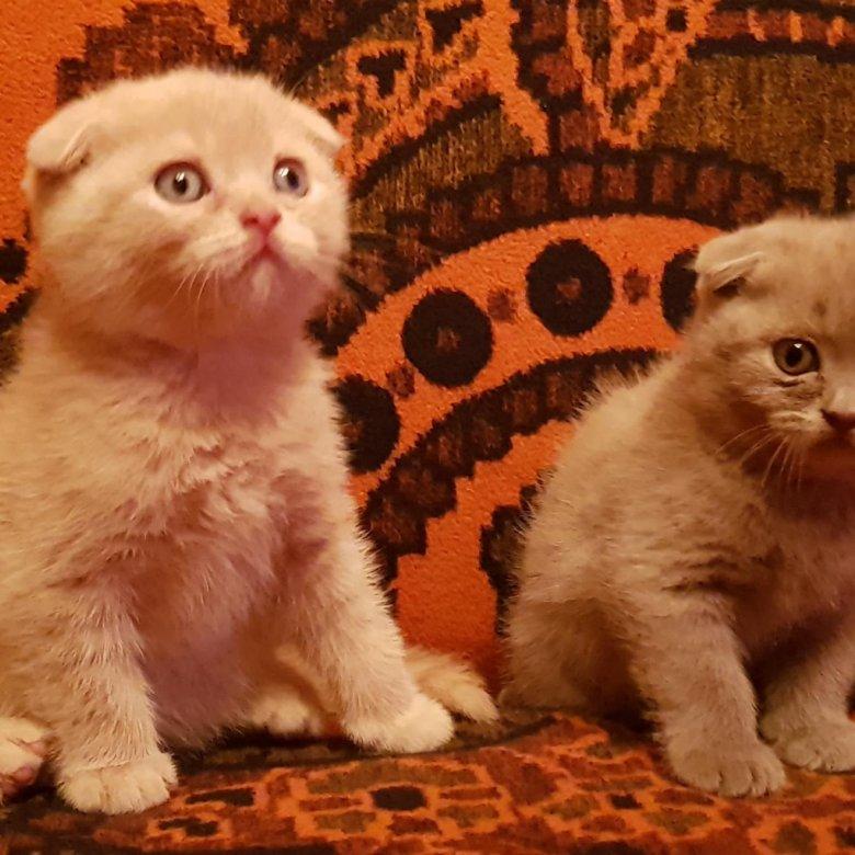 проволочкой котята шотландские вислоухие развитие фото звезда