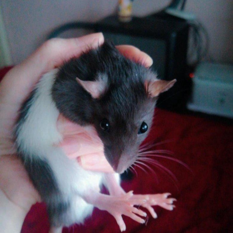 самом крысята рост фото этих жал-шерстинок