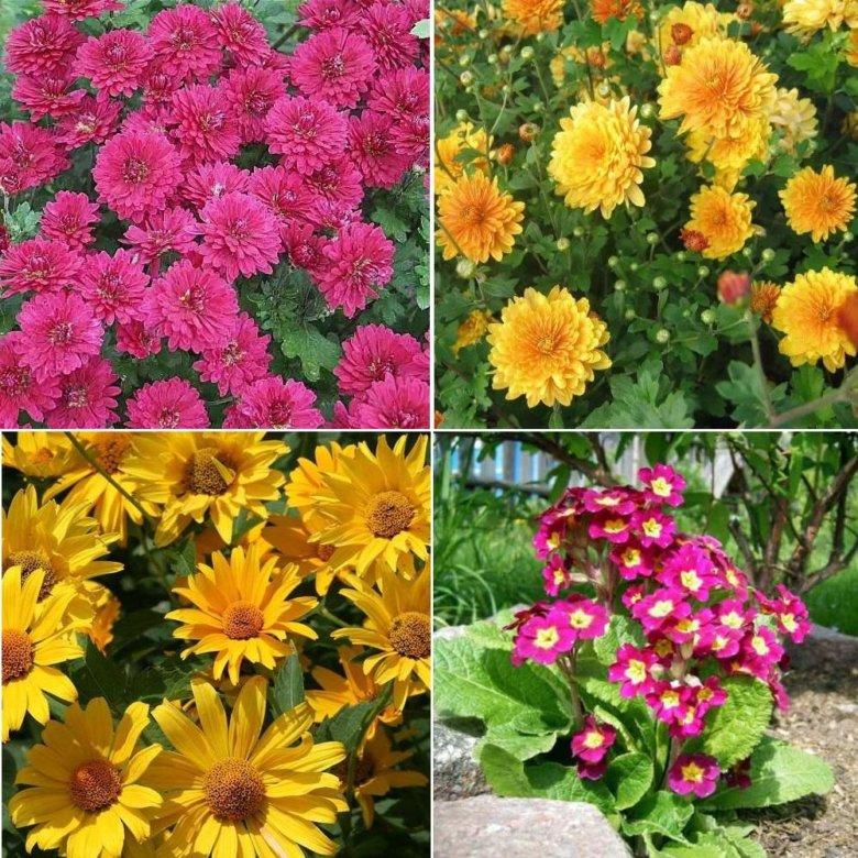 Многолетние цветы азиатки