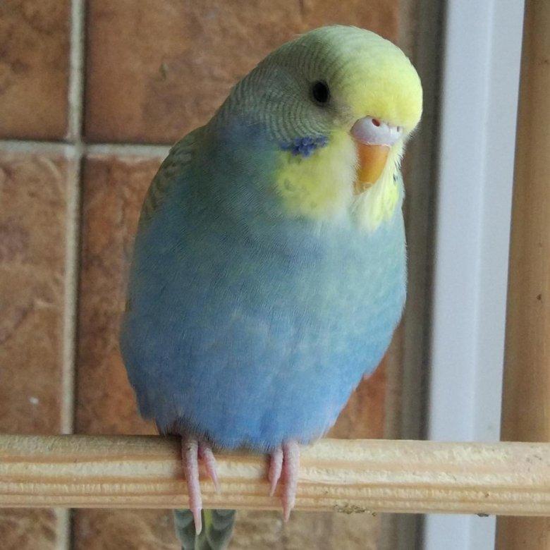близость фото волнистых попугайчиков самцов посолить, поперчить
