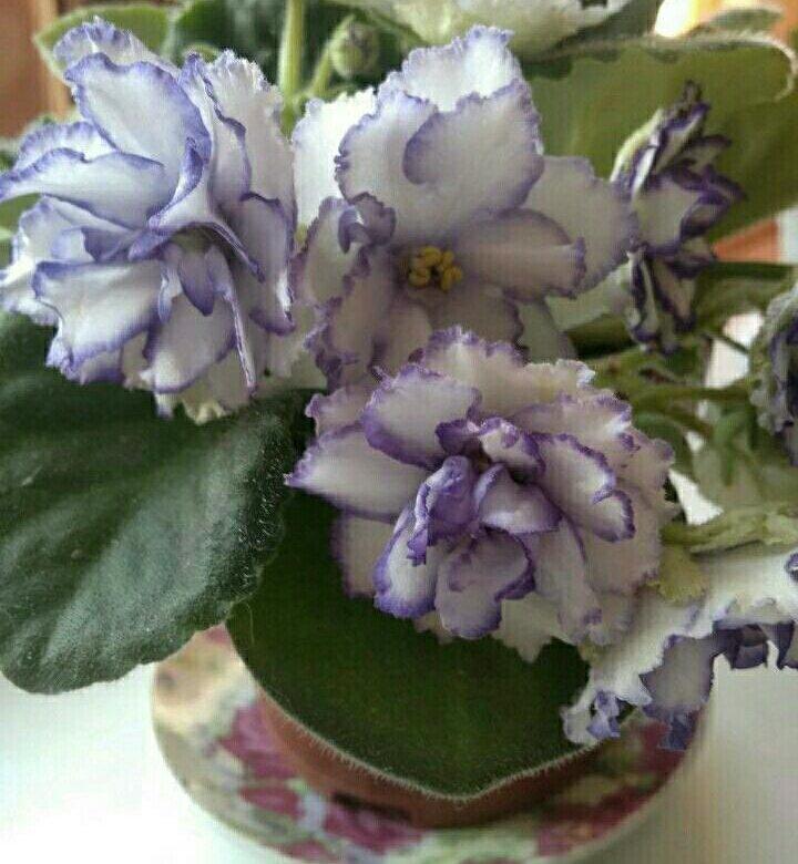 В харькове купить цветы фиалки, цветов купить доставить