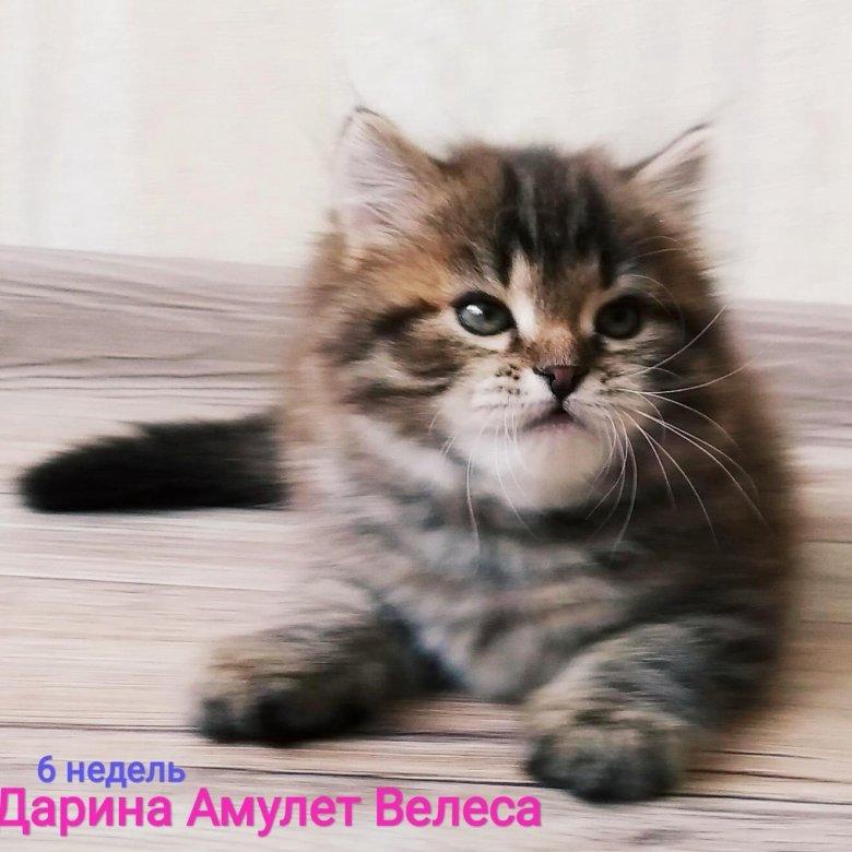 Амулет велеса питомник сибирских кошек подшипник задний чери амулет