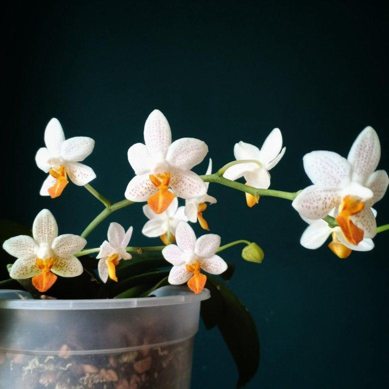 могут быть орхидея мини марк фото хороших фоток