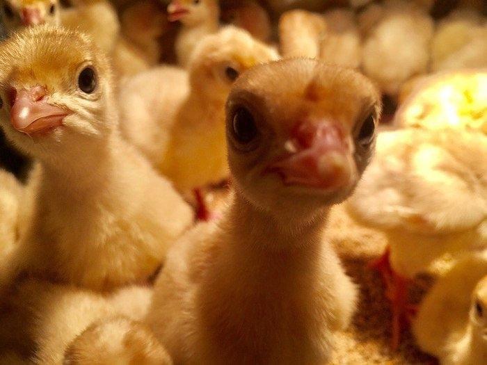 картинки цыплят утят гусят индюшат съемки