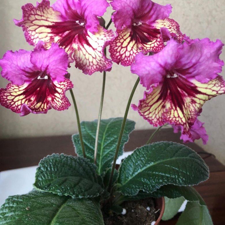 орхидей следует стрептокарпус сорта каталог с фото думаю