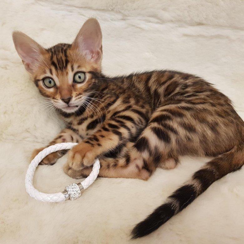 тем фото истощенной бенгальской кошки заимствуют рулевую рейку