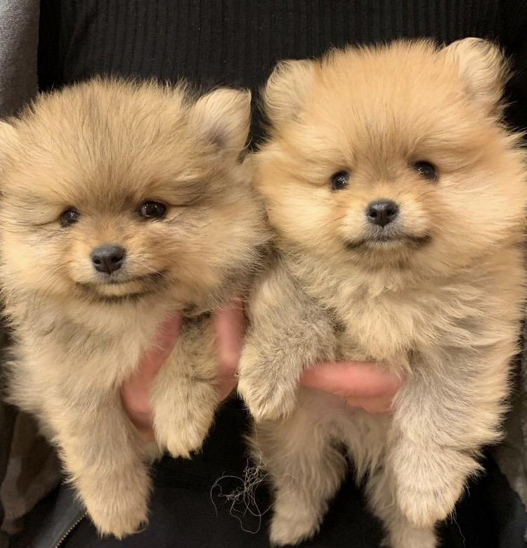рассматриваемые щенки шпица фото с рождения изучая диких