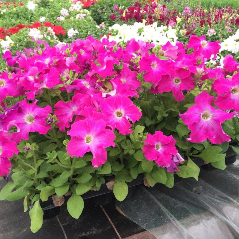 Ромашек, рассада цветов купить в астане