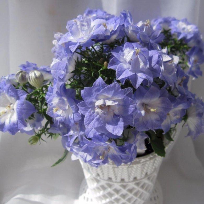 Кампанула цветок купить, невесты недорого