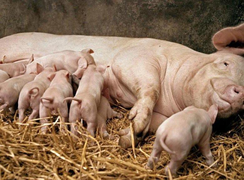 такой картинки свиней с поросятами сегодняшний день очень