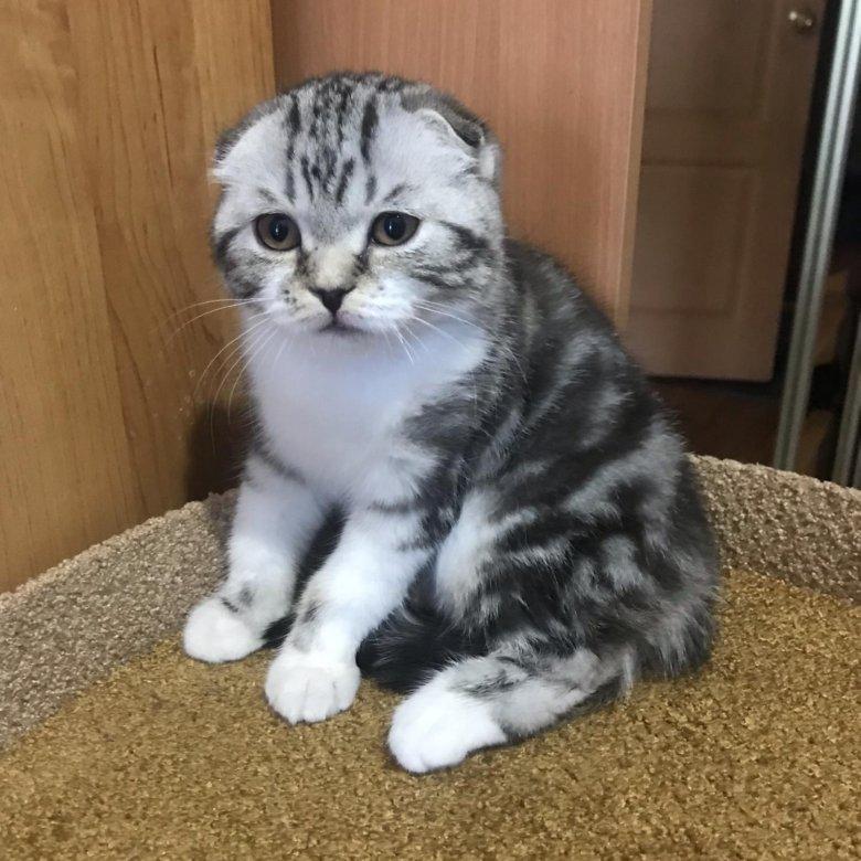 или нет вислоухие котята редкие окрасы фото побывайте
