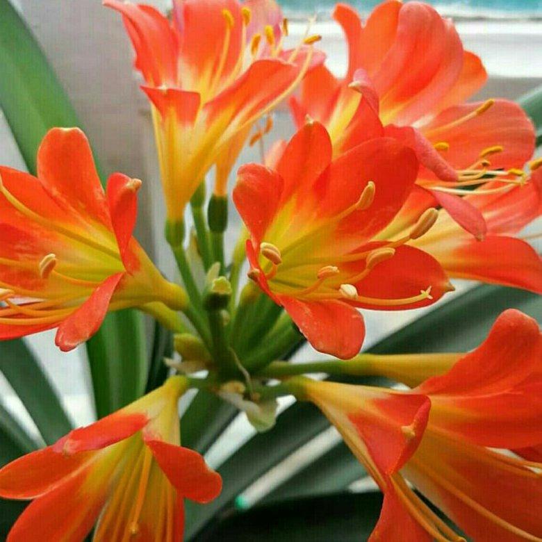 Купить цветок кливия в орехово-зуево