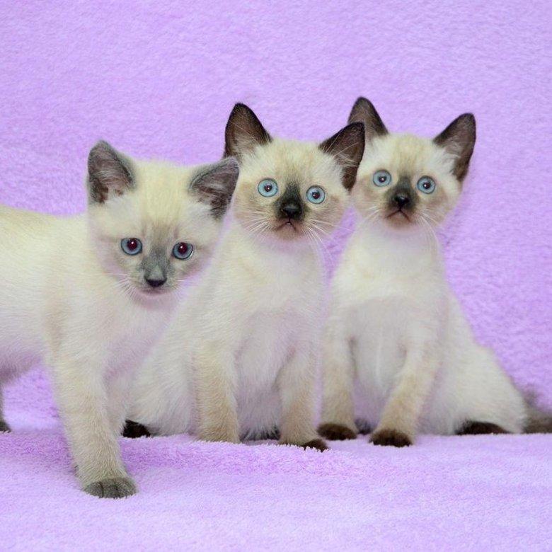 Сиамская кошка маленькая картинки