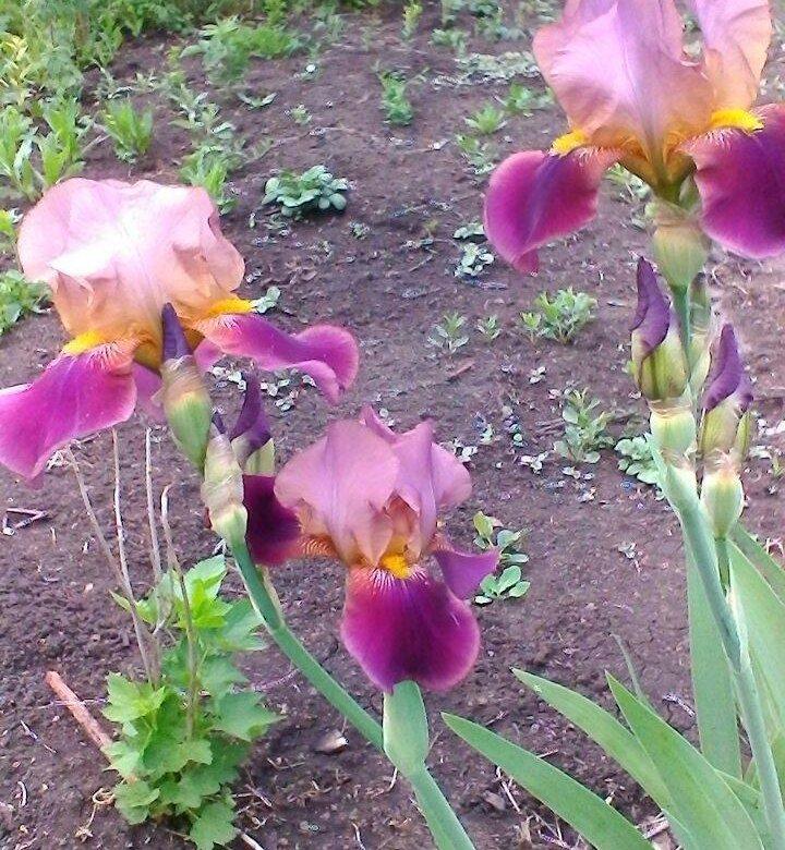 Курьерская, где можно в магнитогорске купить ирисы цветы