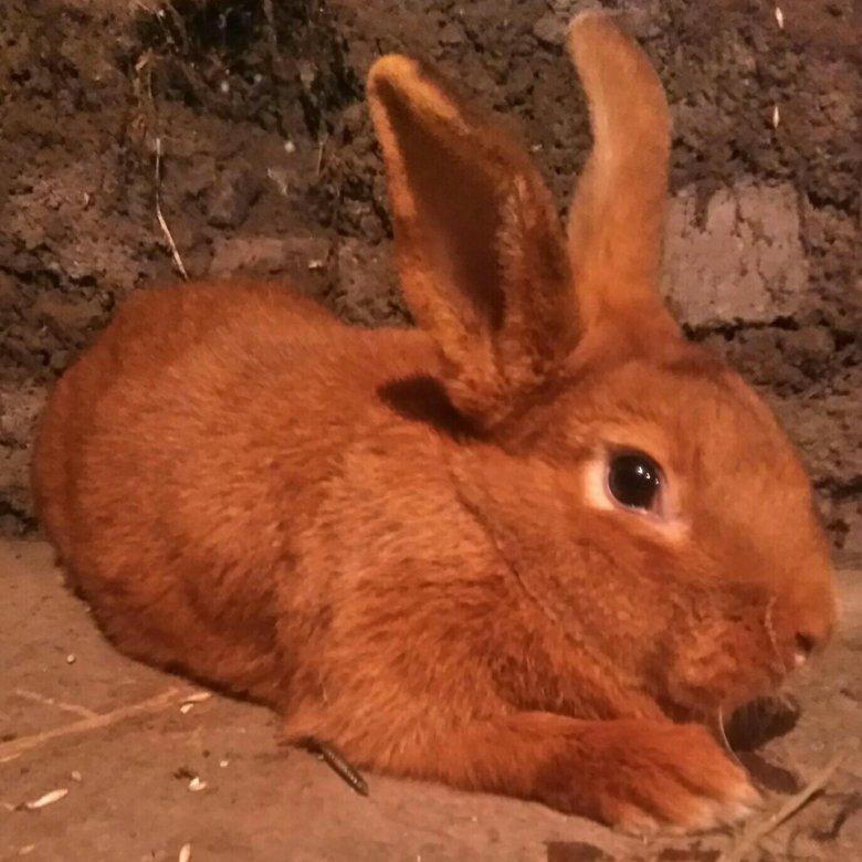 нзк кролик фото в кемеровской области делать, если