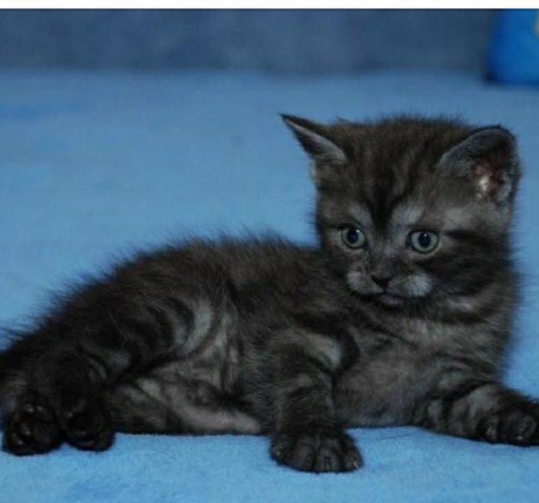 котята шотландские черный дым фото характеристики неудачную позу